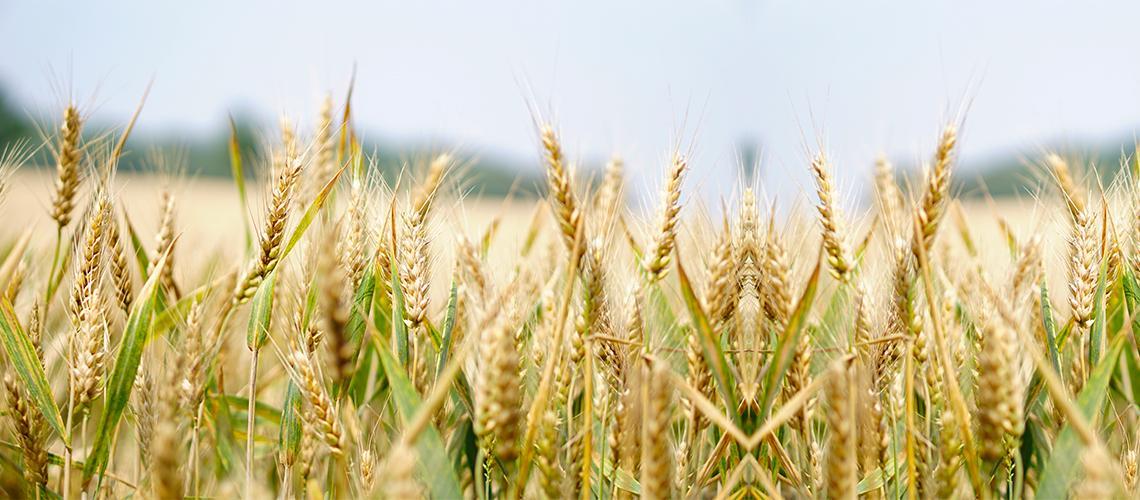 grano hammurabi